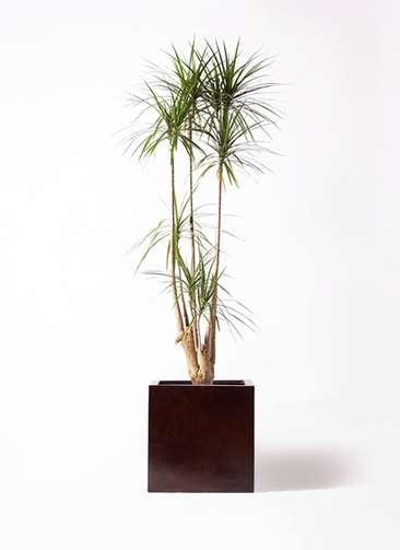 観葉植物 ドラセナ コンシンネ 10号 MOKU キューブ