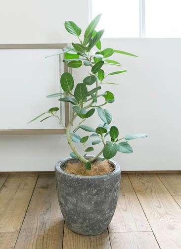 観葉植物 フィカス ベンガレンシス 曲り8号アビスソニア ミドル 灰 付き