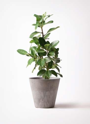 観葉植物 フィカス ベンガレンシス 7号 ストレート アートストーン ラウンド グレー 付き