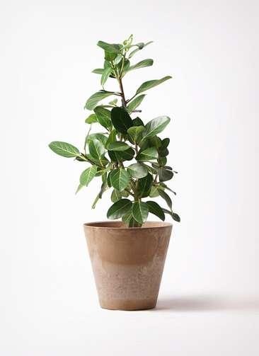 観葉植物 フィカス ベンガレンシス 7号 ストレート アートストーン ラウンド ベージュ 付き