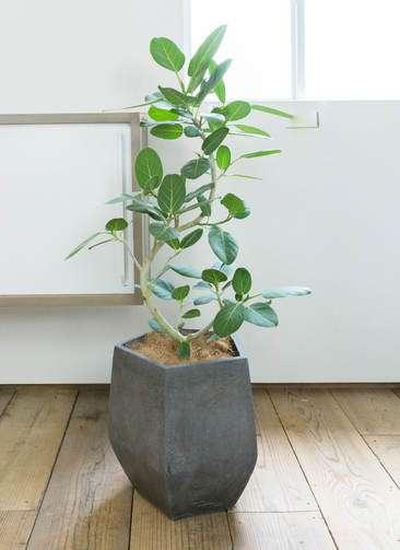 観葉植物 フィカス ベンガレンシス 曲り8号 ファイバークレイGray 付き