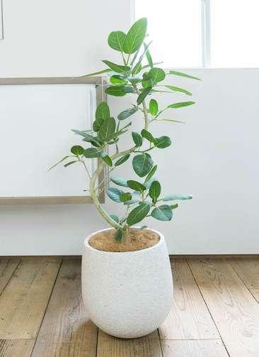 観葉植物 フィカス ベンガレンシス 曲り8号 エコストーンwhite 付き