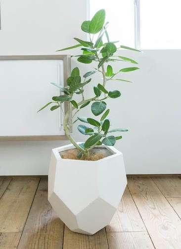 観葉植物 フィカス ベンガレンシス 曲り8号 ポリゴヘクサ 白 付き