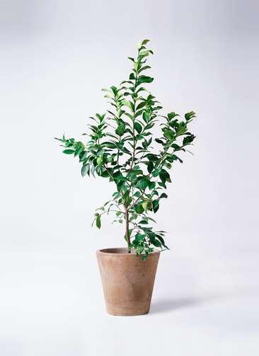 果樹 レモンの木 8号 リスボン ルーガ アンティコ ソリッド 付き