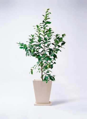 果樹 レモンの木 8号 リスボン パウダーストーン 白 付き