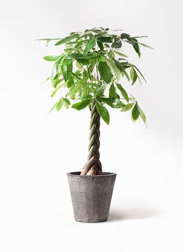 観葉植物 パキラ 8号 ねじり フォリオソリッド ブラックウォッシュ 付き