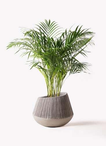 観葉植物 アレカヤシ 8号 エディラウンド グレイ 付き