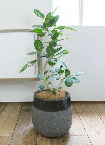 観葉植物 フィカス ベンガレンシス 曲り8号 ファイバーストーン タウルス ミドル 黒 付き