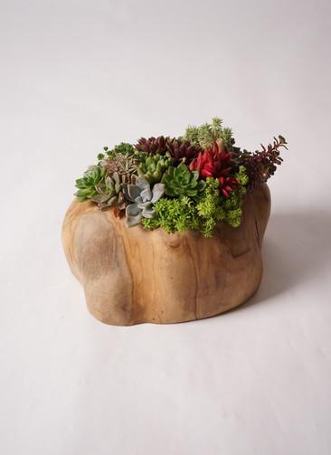 多肉植物 寄せ植え Teak Wood Wide #001