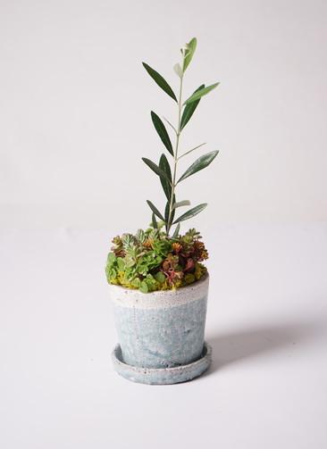 多肉植物 寄せ植え パウダーストーン12 ホワイト #003 (オリーブ入り)
