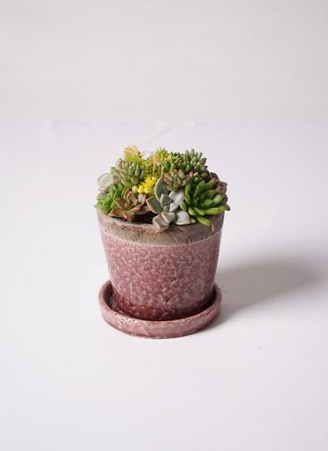 多肉植物 寄せ植え クレーパー 4号 受け皿付き 紫 #001