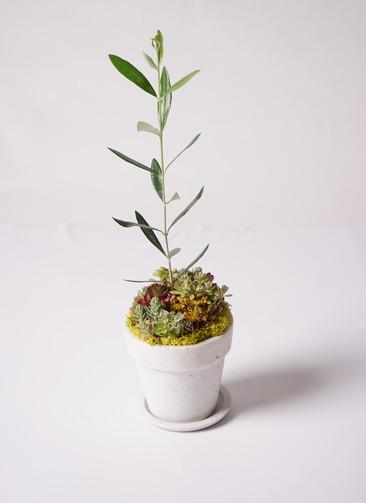 多肉植物 寄せ植え パウダーストーン12 ホワイト #002 (オリーブ入り)
