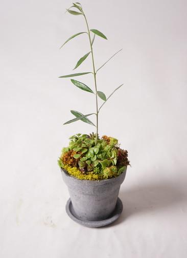 多肉植物 寄せ植え パウダーストーン12 ブラック #002 (オリーブ入り)