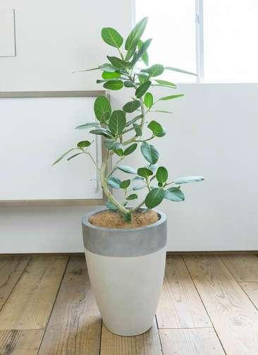 観葉植物 フィカス ベンガレンシス 曲り8号 ファイバーストーン カプリ サンディホワイト 付き