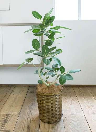 観葉植物 フィカス ベンガレンシス 曲り8号 竹バスケット 付き