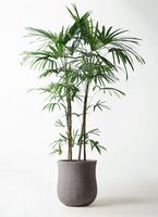 観葉植物 シュロチク(棕櫚竹) 10号 アローナラウンド グレイ 付き