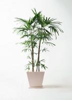 観葉植物 シュロチク(棕櫚竹) 10号 パウダーストーン 白 付き