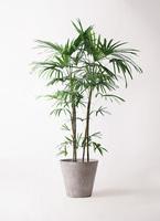観葉植物 シュロチク(棕櫚竹) 10号 アートストーン ラウンド グレー 付き