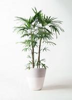 観葉植物 シュロチク(棕櫚竹) 10号 ジュピター 白 付き