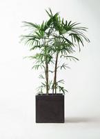 観葉植物 シュロチク(棕櫚竹) 10号 ファイバークレイ 付き