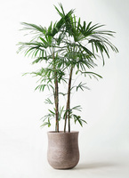 観葉植物 シュロチク(棕櫚竹) 10号 アローナラウンド ベージュ 付き
