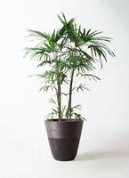 観葉植物 シュロチク(棕櫚竹) 10号 ジュピター 黒 付き