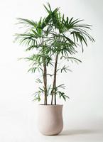 観葉植物 シュロチク(棕櫚竹) 10号 アローナラウンド 白 付き