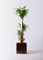 観葉植物 ドラセナ 幸福の木 10号 ノーマル MOKU キューブ 付き