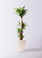 観葉植物 ドラセナ 幸福の木 10号 ノーマル スクエアハット 白 付き
