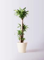 観葉植物 ドラセナ 幸福の木 10号 ノーマル フォリオソリッド クリーム 付き