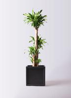 観葉植物 ドラセナ 幸福の木 10号 ノーマル ブリティッシュキューブ 付き