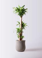 観葉植物 ドラセナ 幸福の木 10号 ノーマル アローナラウンド グレイ 付き