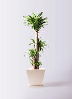 観葉植物 ドラセナ 幸福の木 10号 ノーマル パウダーストーン 白 付き