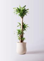 観葉植物 ドラセナ 幸福の木 10号 ノーマル アローナラウンド 白 付き