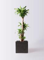 観葉植物 ドラセナ 幸福の木 10号 ノーマル ファイバークレイ 付き