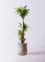 観葉植物 ドラセナ 幸福の木 10号 ノーマル アローナラウンド ベージュ 付き