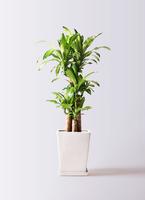 観葉植物 ドラセナ 幸福の木 8号 ノーマル LO スクエア 付き