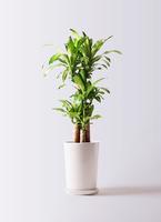 観葉植物 ドラセナ 幸福の木 8号 ノーマル LO ラウンド 付き