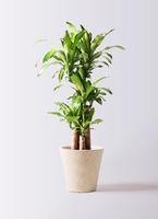 観葉植物 ドラセナ 幸福の木 8号 ノーマル フォリオソリッド クリーム 付き