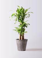 観葉植物 ドラセナ 幸福の木 8号 ノーマル フォリオソリッド ブラックウォッシュ 付き