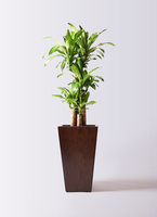 観葉植物 ドラセナ 幸福の木 8号 ノーマル MOKU スクエア 付き