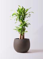 観葉植物 ドラセナ 幸福の木 8号 ノーマル テラニアス ローバルーン アンティークブラウン 付き