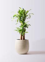 観葉植物 ドラセナ 幸福の木 8号 ノーマル テラニアス バルーン アンティークホワイト 付き