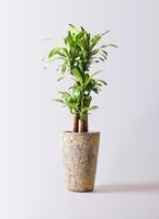 観葉植物 ドラセナ 幸福の木 8号 ノーマル アトランティス クルーシブル 付き