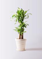 観葉植物 ドラセナ 幸福の木 8号 ノーマル サバトリア 白 付き