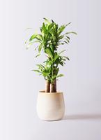 観葉植物 ドラセナ 幸福の木 8号 ノーマル ササール 白 付き