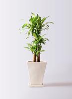 観葉植物 ドラセナ 幸福の木 8号 ノーマル スクエアハット 白 付き