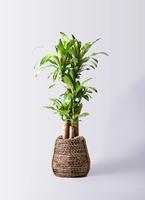 観葉植物 ドラセナ 幸福の木 8号 ノーマル リゲル 茶 付き