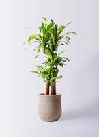 観葉植物 ドラセナ 幸福の木 8号 ノーマル アローナラウンド ベージュ 付き
