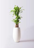 観葉植物 ドラセナ 幸福の木 8号 ノーマル フォンティーヌトール 白 付き